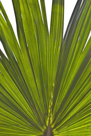 Round leaf from Arecaceae palm Livistona chinensis Stock Photo