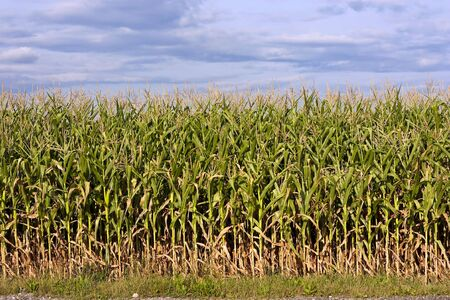 Maize field with ear of corn and cloudy sky