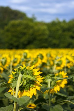 Sunflower field from behind with trees and blue sky