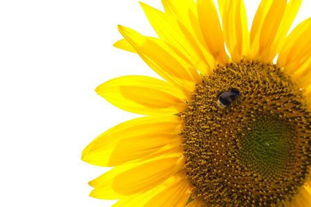 Beautiful sunflower with bumble bee on with background Stock Photo