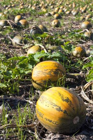 Pumpkin field with orange-green pumpkins