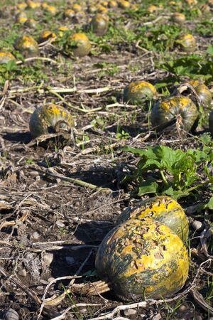 Pumpkin field rotten after hailstorm Stock Photo