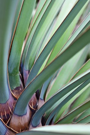 Leaves of Datil yucca or Banana yucca palm
