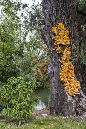 Huge yellow bracket fungus Laetiporus sulphureus on a tree near a river