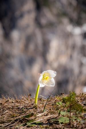 Helleborus niger, Christmas rose or black hellebore blooming in Julian Alps an pass Vrsic in Slovenia, Europe