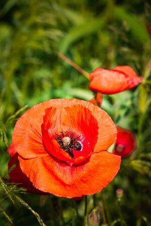 Papaver rhoeas, corn poppy, corn rose, field poppy, Flanders poppy or red poppy Flowers in a field
