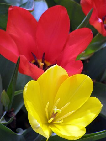 red and yellow tulips         Banco de Imagens