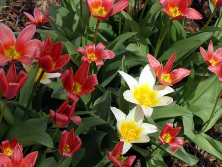 two white tulips surrounded by red