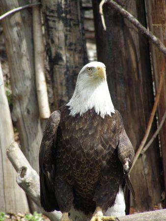 Bald eagle Banco de Imagens