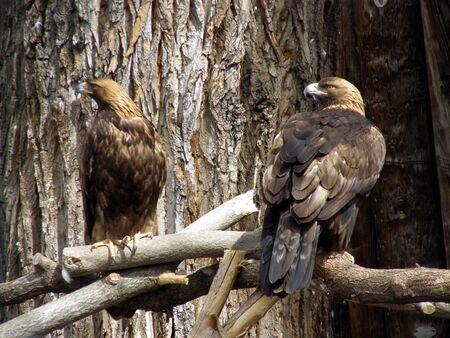 Golden eagles         Banco de Imagens
