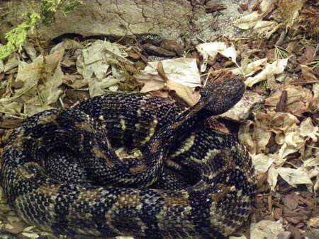 timber rattlesnake Banco de Imagens - 915150
