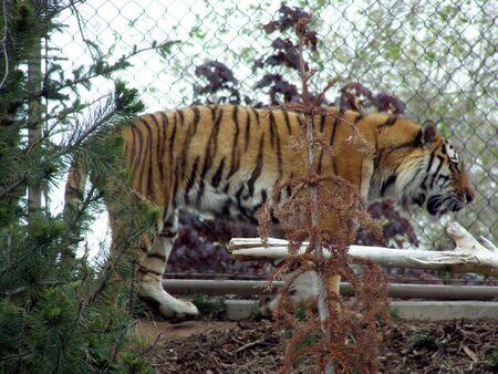 Siberian tiger Banco de Imagens - 915152