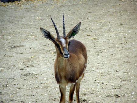 cuviers gazelle