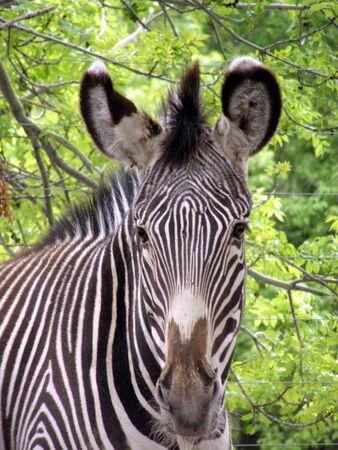 zebra Stock Photo - 915156