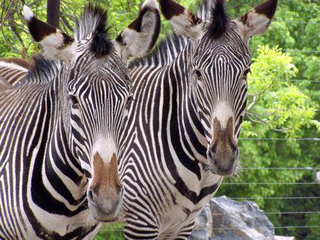 zebras       Banco de Imagens