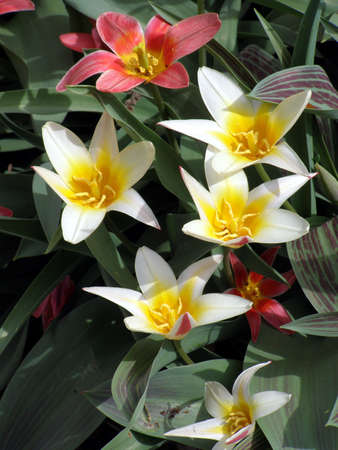 open red & white tulips        Banco de Imagens