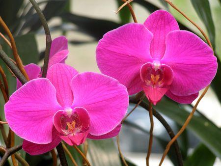 lavender dendrobium orchids         Banco de Imagens