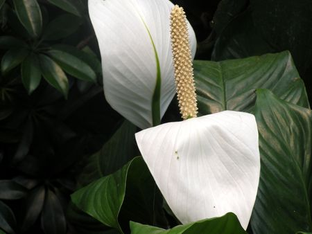 colorfu: spathophylum-peace lily