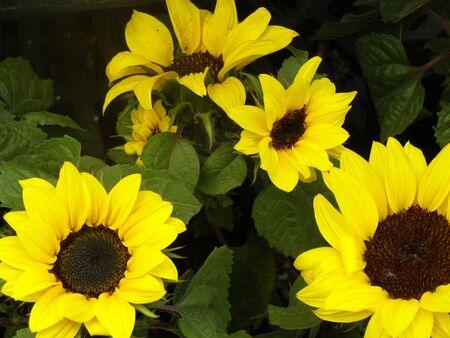 sunflowers Banco de Imagens - 950978