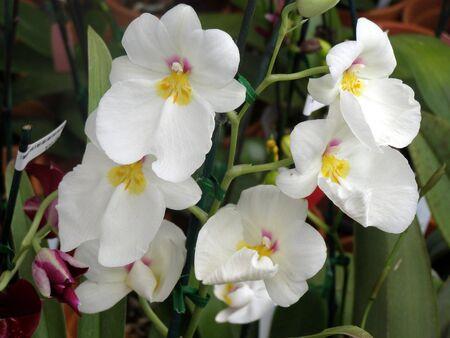white dendrobium orchids        Banco de Imagens