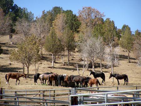 mustangs at BLM roundup site           Stock fotó