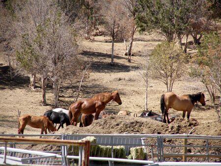 mustangs at BLM roundup site Banco de Imagens - 1016696