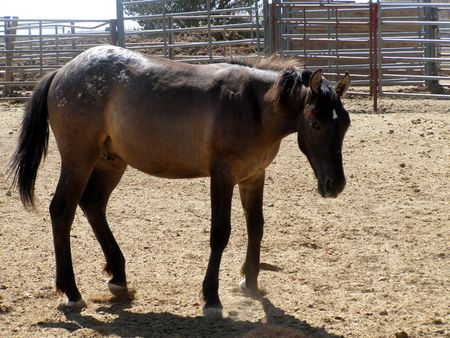 mustang at BLM roundup site