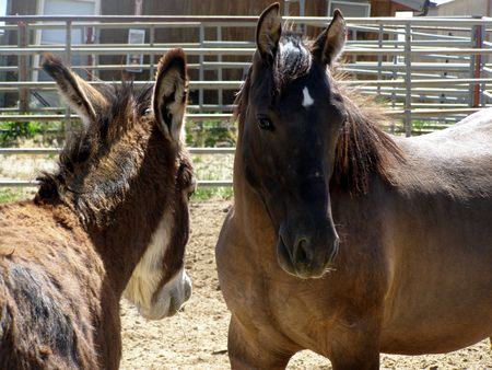 mustang and burro at BLM roundup site