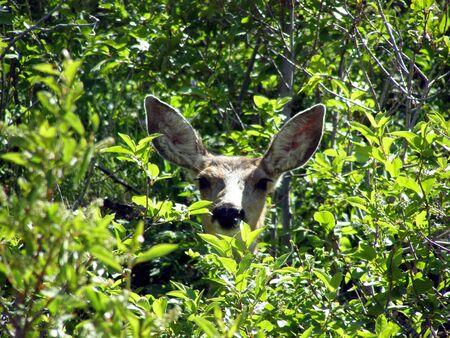 deer face in trees