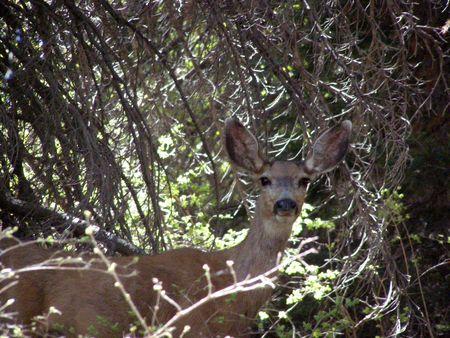 deer hiding in trees