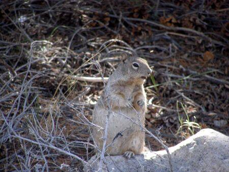 rock squirrel - spermophilus variegatus            Banco de Imagens