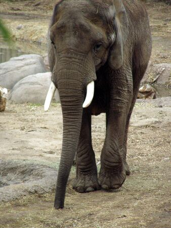front view of an elephant