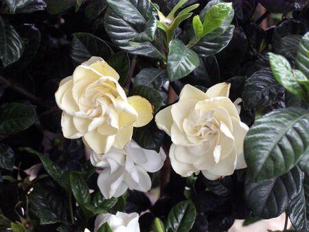 gardenia blossoms Banco de Imagens - 1106895