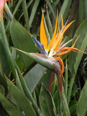 bird of paradise plant        Banco de Imagens