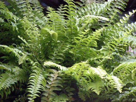Boston fern        版權商用圖片