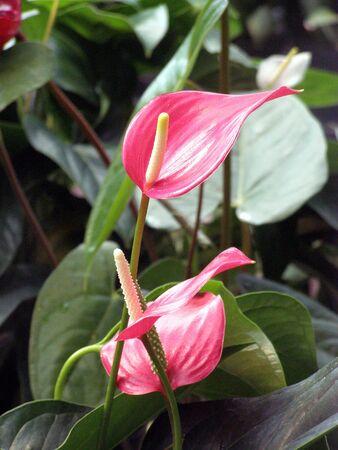 pink anthirium plant Banco de Imagens - 1831829