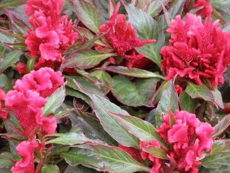 cockscomb plant