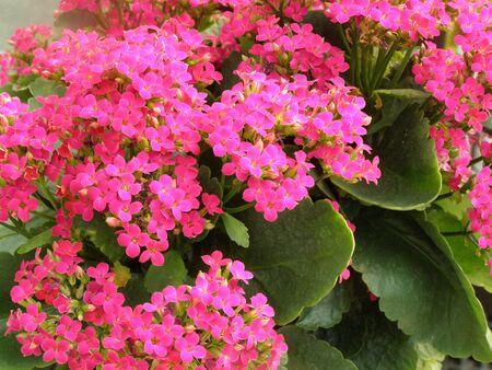 pink kalanchoe plant     Banco de Imagens