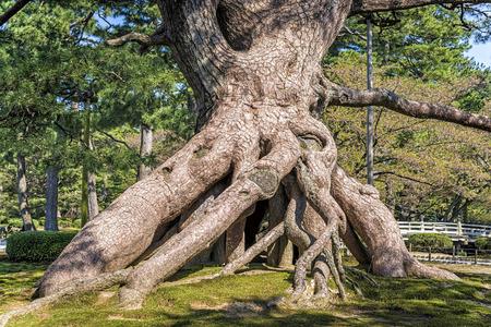 planta con raiz: Vista de una ra�ces planteadas pino en un jard�n en Kanazawa, Jap�n. Este pino inusual mostrando m�s de 40 ra�ces grandes y peque�os levant� alrededor de 2 m, en la planta.