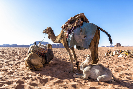 the existing: Dromedary camels in Wadi Rum desert, Jordan. The dromedary, also called the Arabian camel, is a large, even-toed ungulate with one hump on its back. It is one of the three species of camel existing.