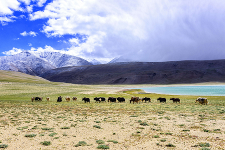 Yak herd in Tso Moriri lake area in Ladakh region, India. The domestic yak is a long haired domesticated bovid found throughout the Himalaya region of southern Central Asia and the Tibetan Plateau