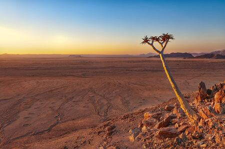 View of a quiver tree (Aloe Dichotoma) in front of the Namib desert, Namibia. The Namib is a coastal desert in southern Africa, and the name means