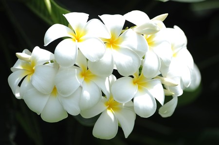 Frangipani tropical flowers from deciduous tree, plumeria  photo