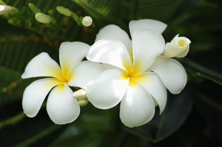 cerca: Frangipani flores tropicales de árbol de hoja caduca, plumeria