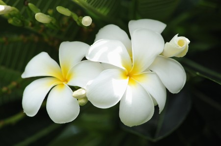 green leafs: Frangipani tropical flowers from deciduous tree, plumeria  Stock Photo