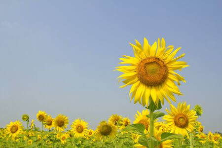 A field of sunflowers, Thailand photo