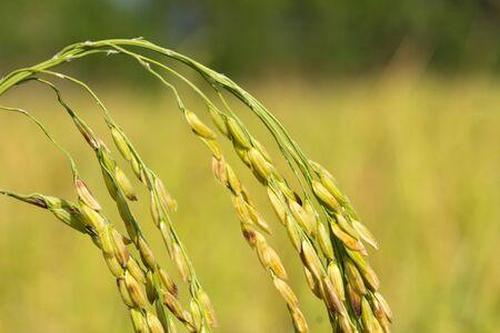 paddy rice  Stock Photo - 8697035