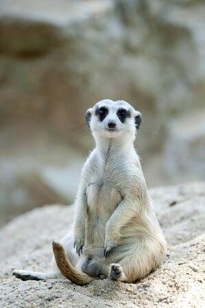 suricatta: Meercat or Suricate (Suricata suricatta)  Stock Photo