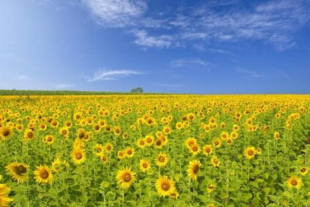 campo de flores: Girasol