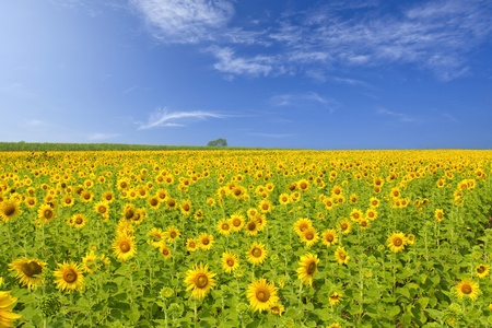 flowers field: Sunflower
